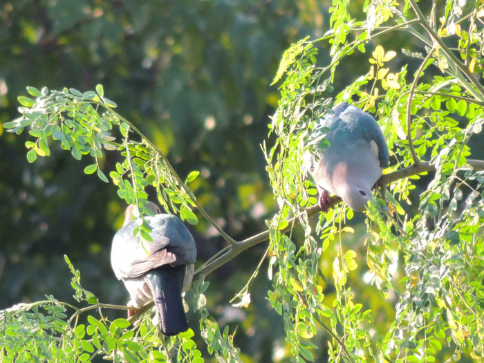 Couple of Imperial Pigeons feeding on Moringa leave
