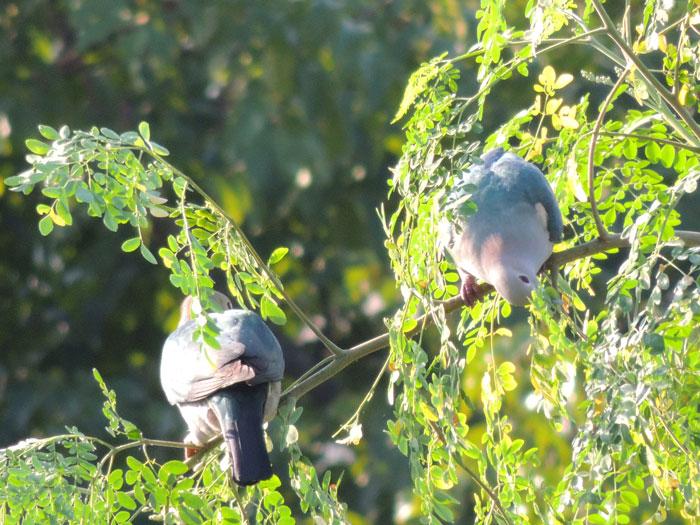 Couple of Imperial Pigeons feeding on Moringa leave
